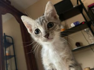 Josie is a sweet baby who loves to run play cuddle and purr purr purr she is currently living wit