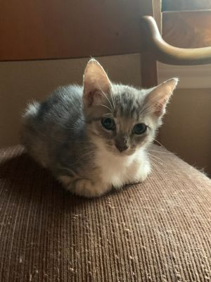 Val is a sweet baby who loves to play snuggle and cuddle and purr purr purr She is currently foste