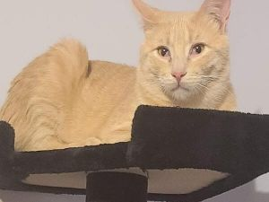 Primary Color Orange Tabby Weight 150625lbs Animal has been Neutered