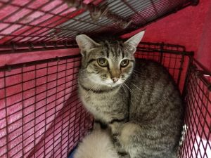 Primary Color Grey Tabby Animal has been Spayed
