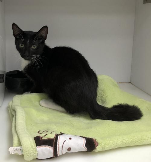 Ramsey, an adopted Tuxedo & Domestic Short Hair Mix in Monroe, MI