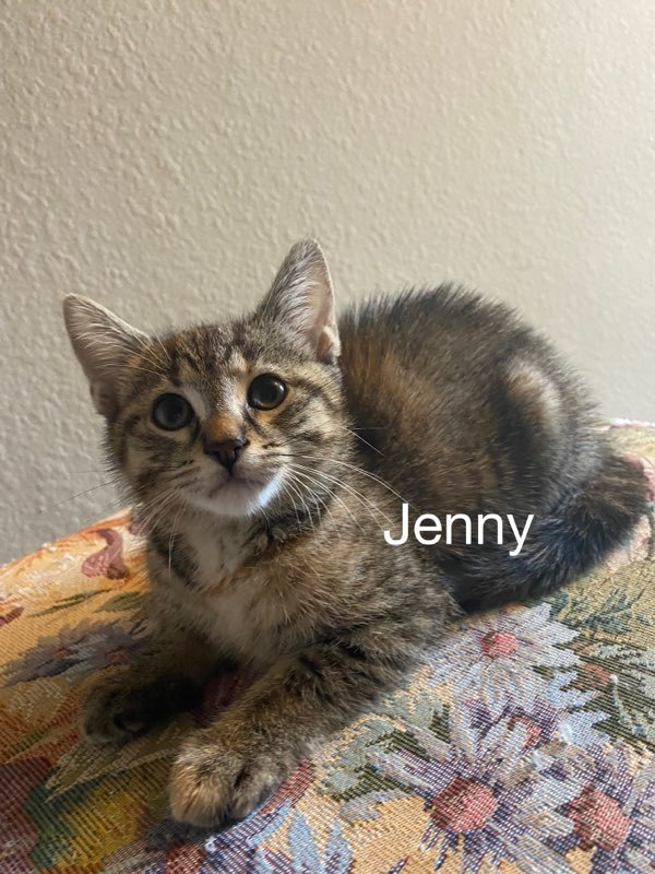 Jenny, an adoptable Calico & Domestic Short Hair Mix in Miami, FL