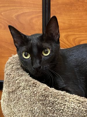 Very sweet  loveable Maybe a little shy at first Ready to be your lap cat Sh
