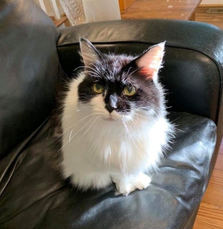 Joonbug, an adoptable Maine Coon in Queenstown, MD