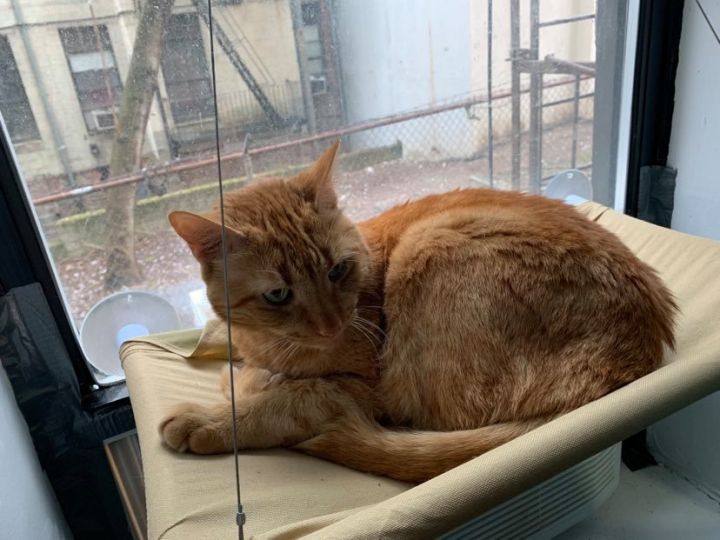 Rufus, an adopted Domestic Short Hair in Brooklyn, NY