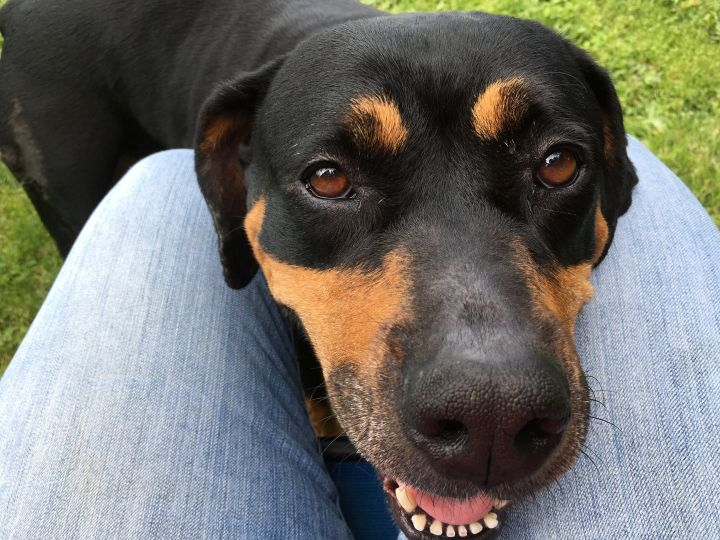 Jenny, an adopted Rottweiler in Portland, OR