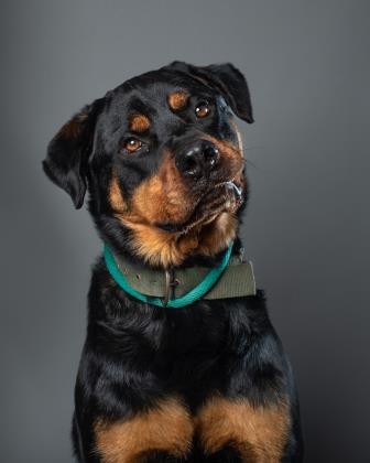 Moreno, an adoptable Rottweiler in Portland, OR