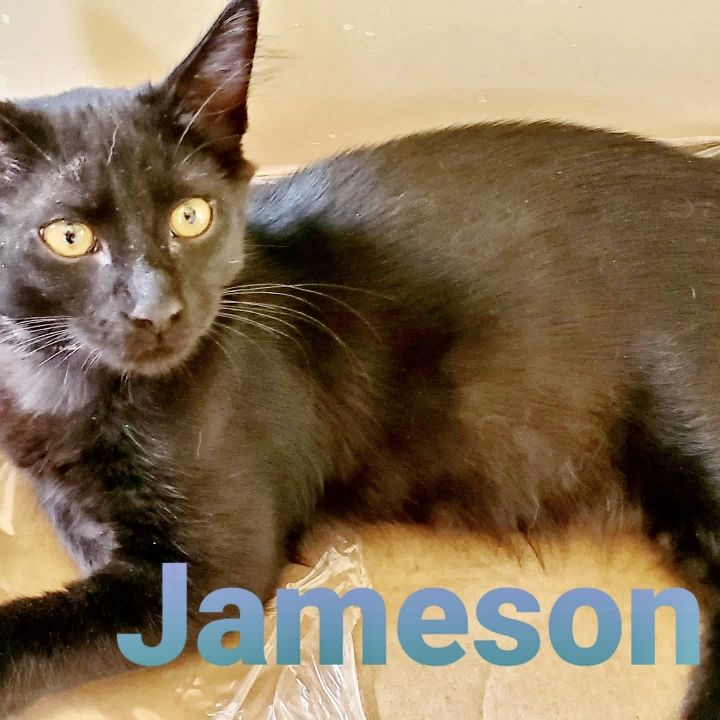 Jameson, an adopted Bombay in Los Angeles, CA