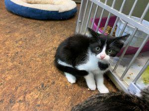 Sherbert Domestic Short Hair Cat