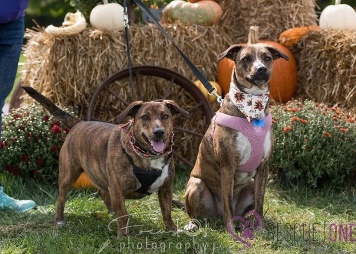 Sugar + Spice, an adopted Plott Hound Mix in Springfield, MO