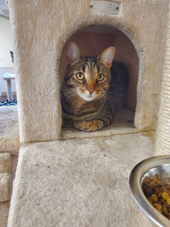 Nissa, an adoptable Domestic Short Hair Mix in Naperville, IL