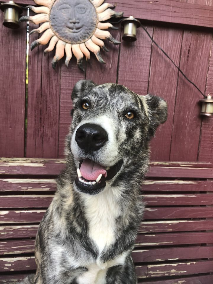Lady, an adopted Collie Mix in Hendersonville, TN