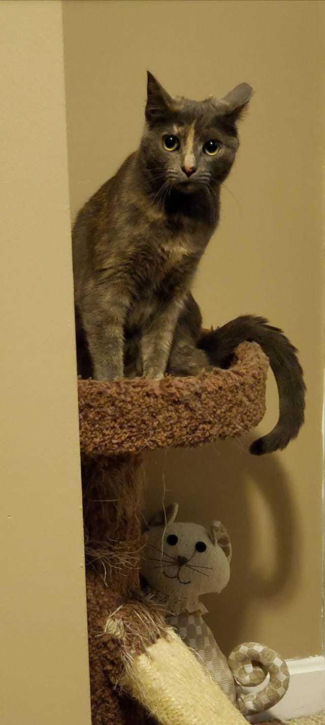 North Main 3, an adoptable Domestic Short Hair in Plainville, MA