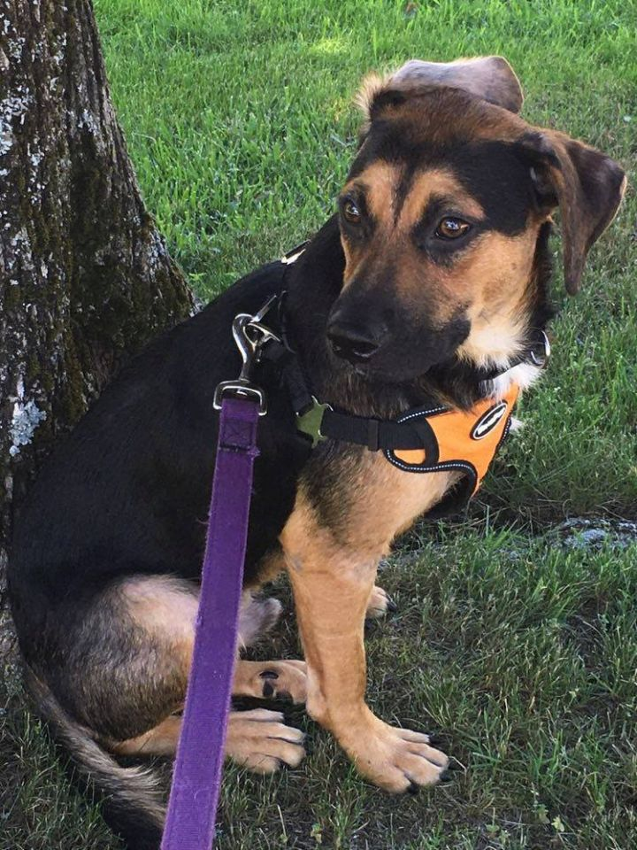 Aeries, an adopted Shepherd Mix in Hudson, NH