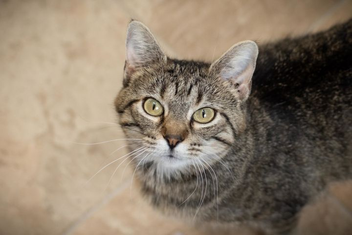 Natasha, an adoptable Domestic Short Hair Mix in Papillion, NE