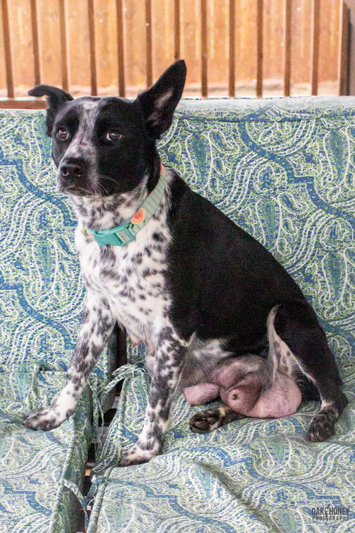 Campbell, an adopted Australian Cattle Dog / Blue Heeler Mix in Springfield, MO