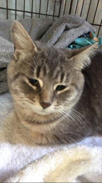 Grace, an adoptable Domestic Short Hair in Ann Arbor, MI