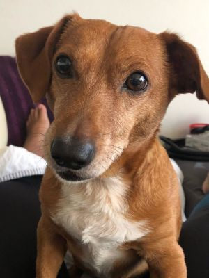 Breed Dachshund mix Age 8 yrs Weight 23 lbs Good with dogs yes if calm Good with cats unsure
