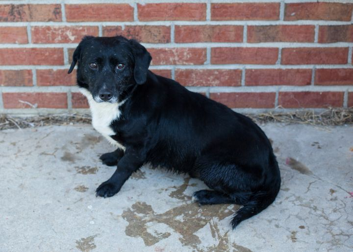 DUTCH, an adoptable Mixed Breed in Cape Girardeau, MO