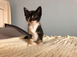 Jan Domestic Short Hair Cat