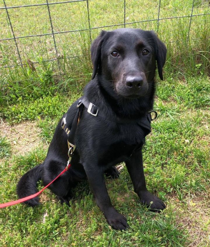 Pepper, an adoptable Retriever Mix in Millersville, MD
