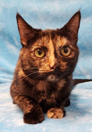 Trish is a 5 month 5 pond Torti that is cat friendly If you would like to give