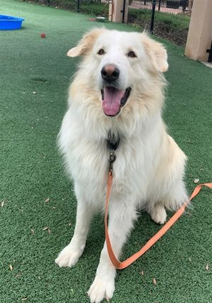 Hello there humans - my name is Captain and Im one handsome large fella that is hoping to win a