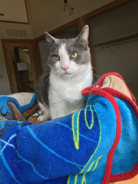 George, an adopted Domestic Short Hair in Ridgway, CO