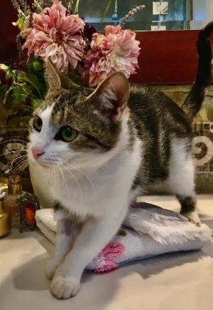 ALLIE IS A SWEET 1 YR OLD CAT THAT CAME FROM LIVING IN A ALLEY IN LONG BEACH SHE IS