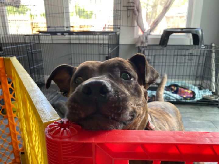 Olivia, an adoptable Pit Bull Terrier Mix in Hudson, NH