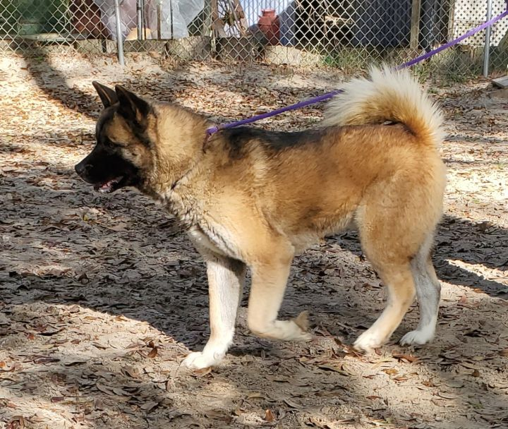Hope, an adoptable Akita in Jacksonville, FL