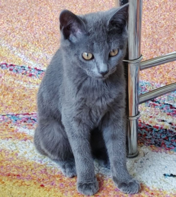 Elvira, an adopted Domestic Short Hair in South Ozone Park, NY