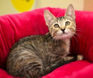 Marcia is a 12 week old Torbie kitten She is calm sweet and lovable Marcia is spayed up to date