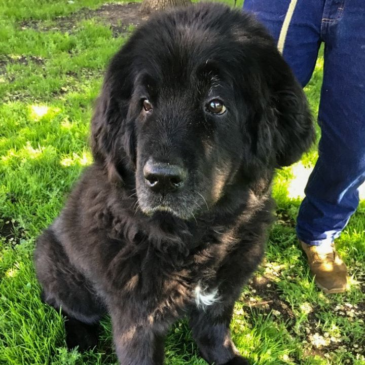 Sarah, an adopted Newfoundland Dog in North Branch, MN