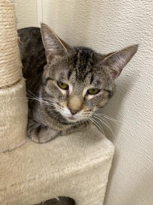 angus, an adoptable Domestic Short Hair in Clarks Summit, PA
