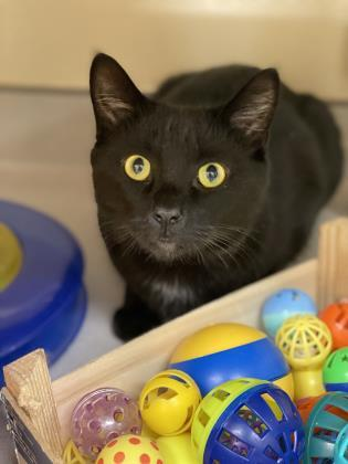 Phillip, an adoptable Domestic Short Hair in Clarks Summit, PA