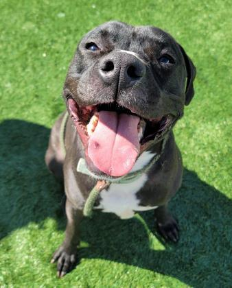 yuri, an adoptable Pit Bull Terrier Mix in Clarks Summit, PA