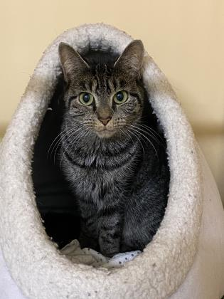 bella 2, an adoptable Domestic Short Hair in Clarks Summit, PA