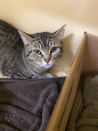 bam bam, an adoptable Domestic Short Hair in Clarks Summit, PA