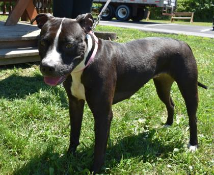 Lola, an adoptable Pit Bull Terrier Mix in Clarks Summit, PA