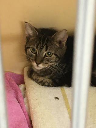 missy, an adoptable Domestic Short Hair in Clarks Summit, PA