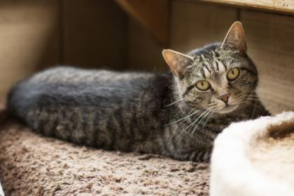 Jade, an adoptable Domestic Short Hair in Bloomsburg, PA