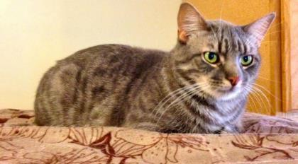 Budaloo, an adoptable Domestic Short Hair in Bloomsburg, PA