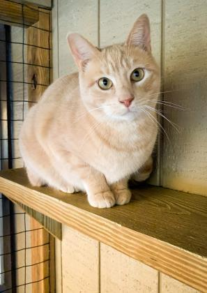 Sandy, an adoptable Domestic Short Hair in Bloomsburg, PA
