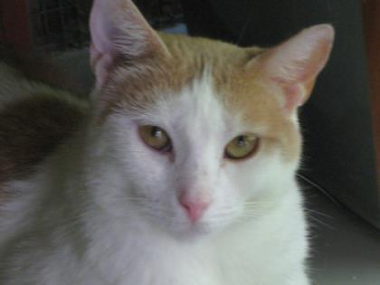 Sugar, an adoptable Domestic Short Hair in Bloomsburg, PA