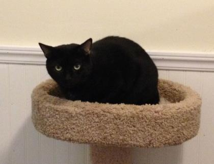 Manny, an adoptable Domestic Short Hair in Bloomsburg, PA