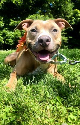 Marigold, an adoptable Pit Bull Terrier Mix in Bloomsburg, PA