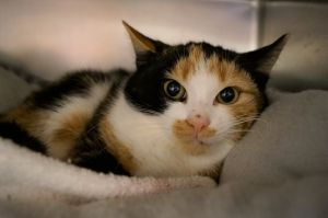 Our kittens vary in color age and hair length All are spayedneutered de-wormed current on age a