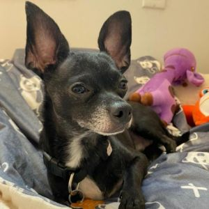 Chucky is a shy little guy who loves to love He needs a little help with walking on a leash
