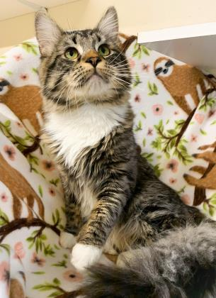 Cole, an adoptable Domestic Long Hair & Domestic Short Hair Mix in Bloomsburg, PA